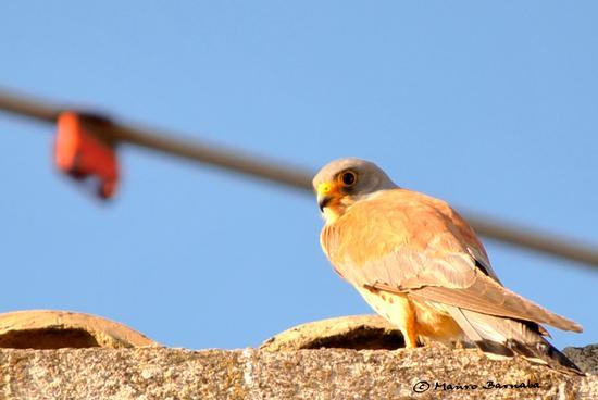 Falco Grillaio - Naumanni - Gravina in puglia (1531 clic)