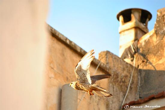 Falco Grillaio - Naumanni (esemplare femmina) - Gravina in puglia (1849 clic)