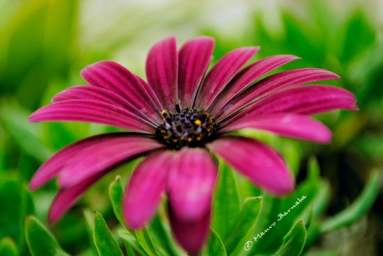 Flower - Gravina in puglia (1279 clic)