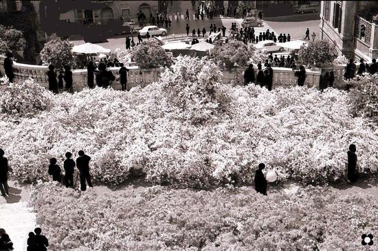 Trinità dei Monti, un mare di azalee sulla scalinata per la festa della primavera - Roma (2537 clic)
