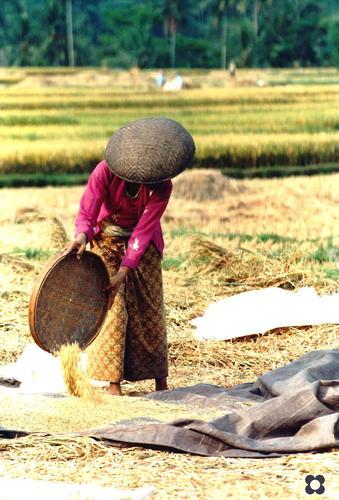 Indonesia, riso seconda pulitura (733 clic)