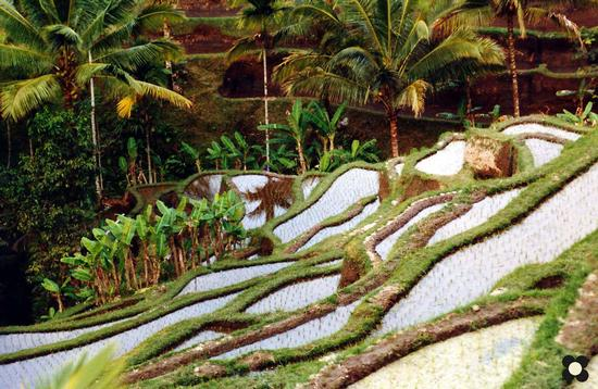 Bali, risaia a terrazze (616 clic)