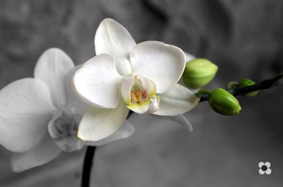 orchidea bianca e in bianco e nero - Modica (725 clic)