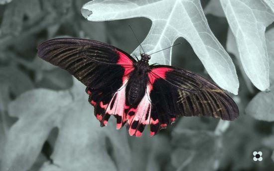 la farfalla e la foglia - Modica (1028 clic)