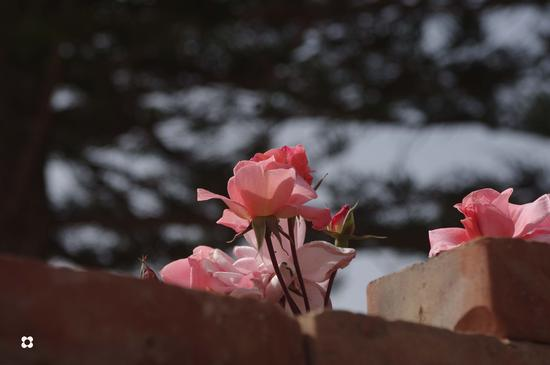rose - Marina di modica (1425 clic)