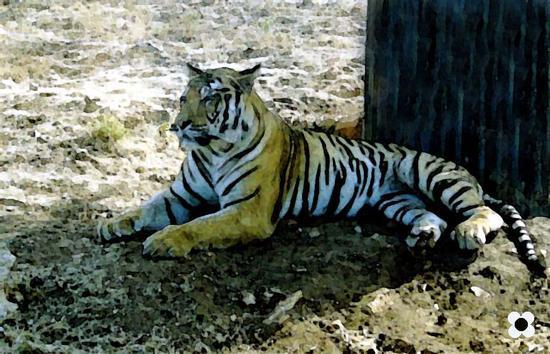 sconsigliato smacchiare la tigre - Fasano (1082 clic)