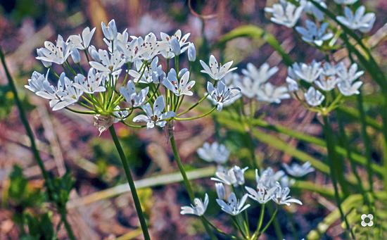 fiori di campo - Modica (1023 clic)