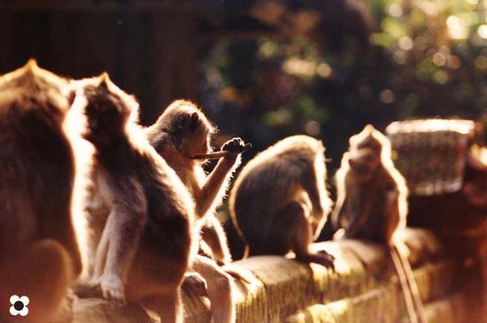 Bali, Tempio delle scimmie (723 clic)