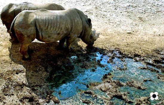 zoosafari 2003, rinoceronti - Fasano (1021 clic)