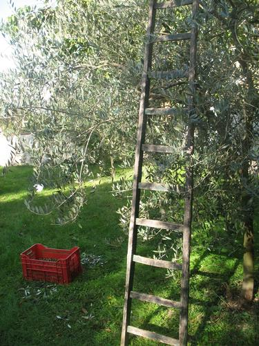Raccolta oliva 2012 - Foligno (977 clic)
