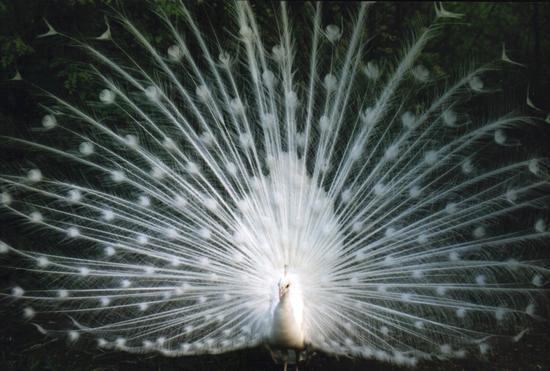 Il pavone.........innamorato - Castelbellino (2679 clic)