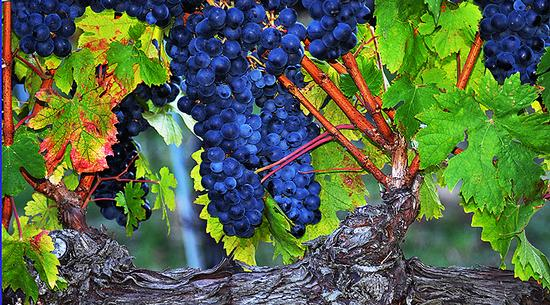 Quadro di...vino - Sant'amico (702 clic)