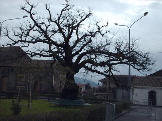 quercia secolare  - Linguaglossa (4332 clic)