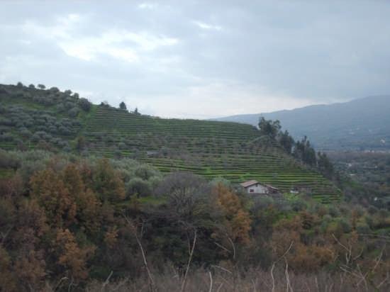 dove nasce il vino Etna D.O.C. - Linguaglossa (2905 clic)
