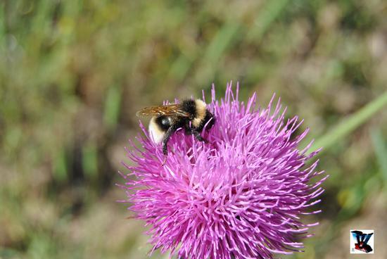 ape in fiore (423 clic)