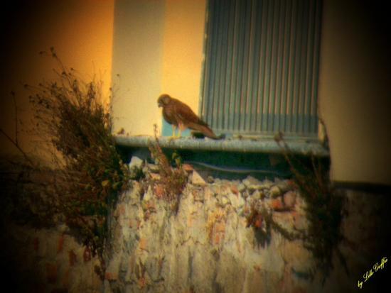 Rapace al balcone - PIZZO - inserita il 27-Jun-11