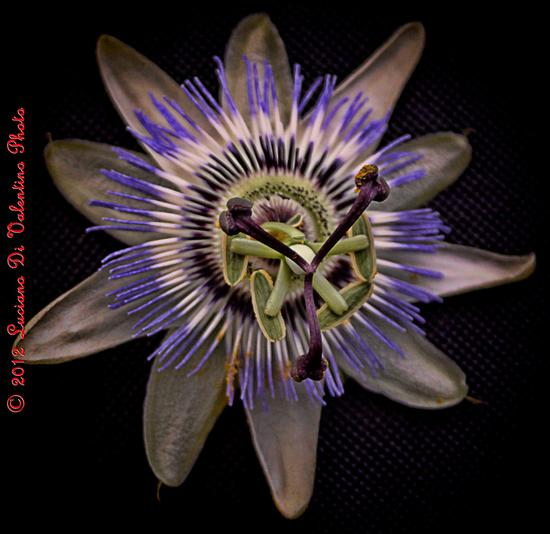 Passion Flower - FRANCAVILLA AL MARE - inserita il 22-May-12