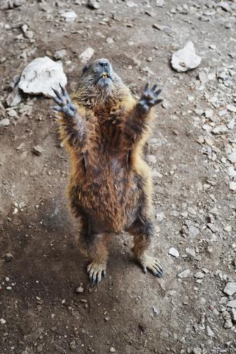 marmot (440 clic)