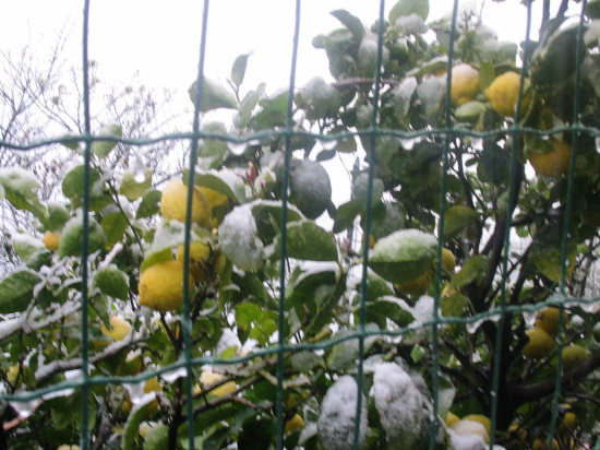 Corniglia - i limoni sotto la neve (2798 clic)
