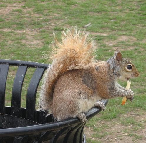 Uno scoiattolo americano può cibarsi solo di French Fries! - Roma (2572 clic)