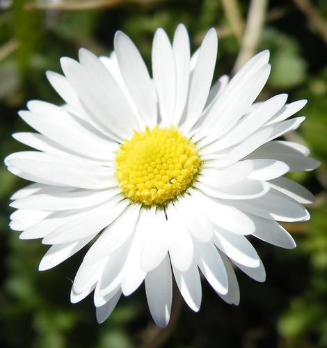 daisy - Foligno (1785 clic)