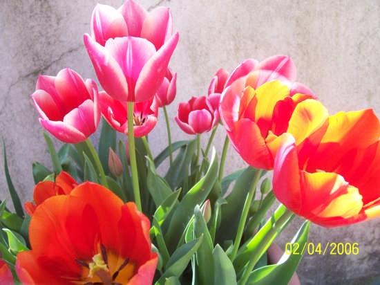 tulipani - Modica (3070 clic)