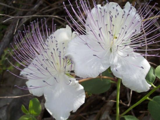 fiore di cappero - Modica (4953 clic)