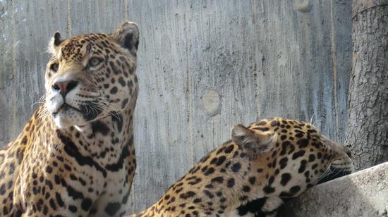 leopardi - Pistoia (1268 clic)