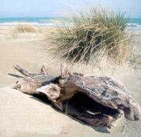 Le dune - Lido di dante (1253 clic)