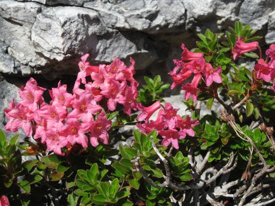rododendro al Giau - Cortina d'ampezzo (1896 clic)