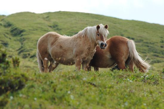 cavalli al pascolo  - Val di fassa (1910 clic)