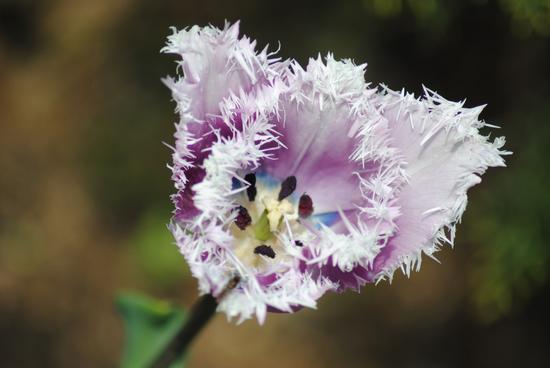 Tulipano Queensland - Valeggio sul mincio (1981 clic)