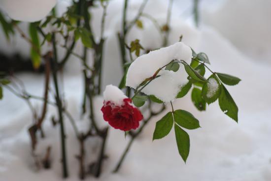 Rosa d'inverno! - Medolla (2177 clic)