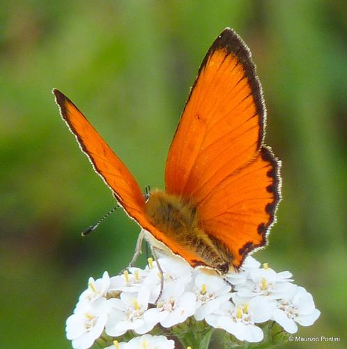 FARFALLE | Licena (Lycaenidae (Leach, 1815) - Monchio delle corti (3105 clic)