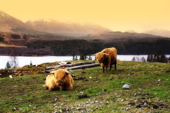 Buoi villosi all pascolo. Isola di Skye. -  - inserita il 16-May-13