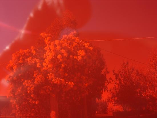 Mimosa Rossa - Arbus (2726 clic)