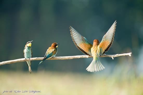 Gruccioni (merops apiaster) (2971 clic)