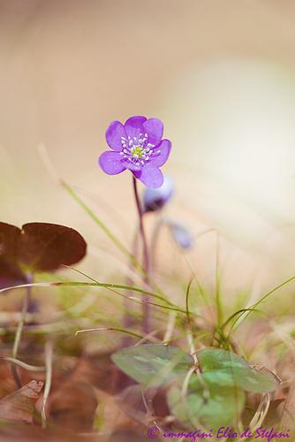 Hepatica nobilis (fiore della Trinità) - Ragoli (786 clic)
