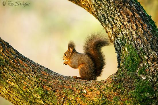 scoiattolo comune europeo (sciurus vulgaris) - Castiglione delle stiviere (1606 clic)