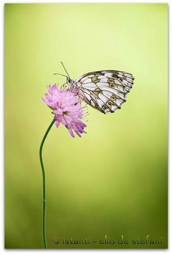 Melanargia Galathea - (Famiglia Nymphalidae) - Castiglione delle stiviere (1796 clic)