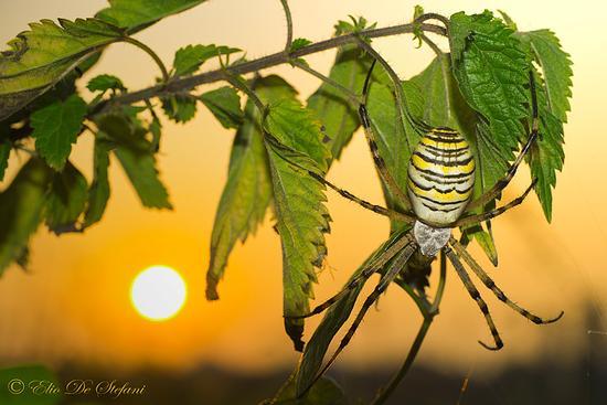 ragno tigre (Argiope bruennichi) - Castiglione delle stiviere (2258 clic)