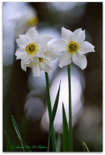 Narciso selvatico - Narcisus-Poeticus - San zeno di montagna (2920 clic)