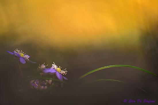 Hepatica nobilis (fiore trinità) - Gavardo (252 clic)