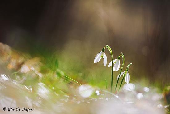 Galanthus nivalis (Bucaneve) - Lonato del garda (225 clic)