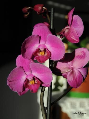 orchidea - Rovereto (1586 clic)