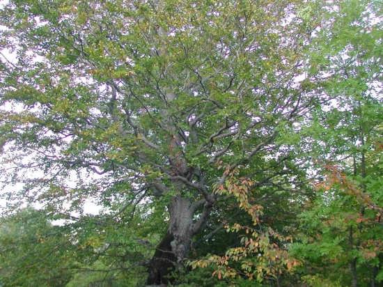 il padrone del bosco - Sestola (2653 clic)