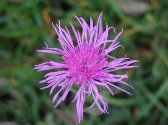 fiore di campo - Sestola (4413 clic)