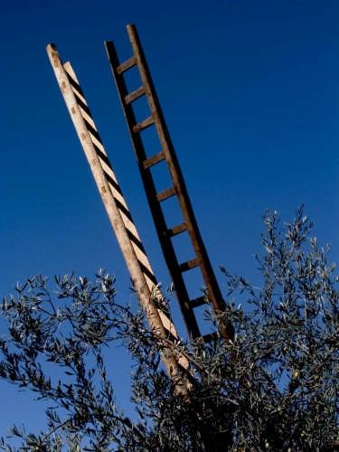 Raccolta olive - Catania (3406 clic)