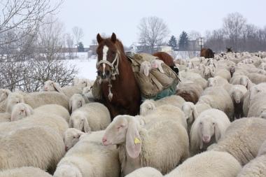 gregge sulla neve - Cremona (2001 clic)