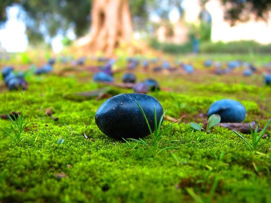 Le olive del Salento - Borgagne (2252 clic)